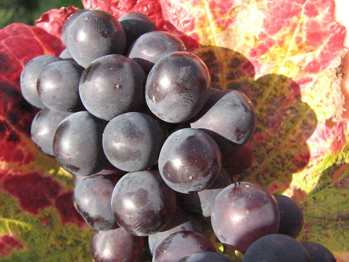 Red wine grapes; both grapes and ivy were symbols of Dionysus