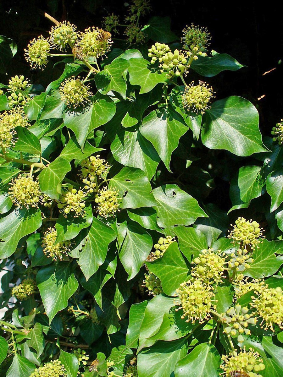 English ivy reproductive stems and flowers; the leaves are oval and pointed instead of lobed