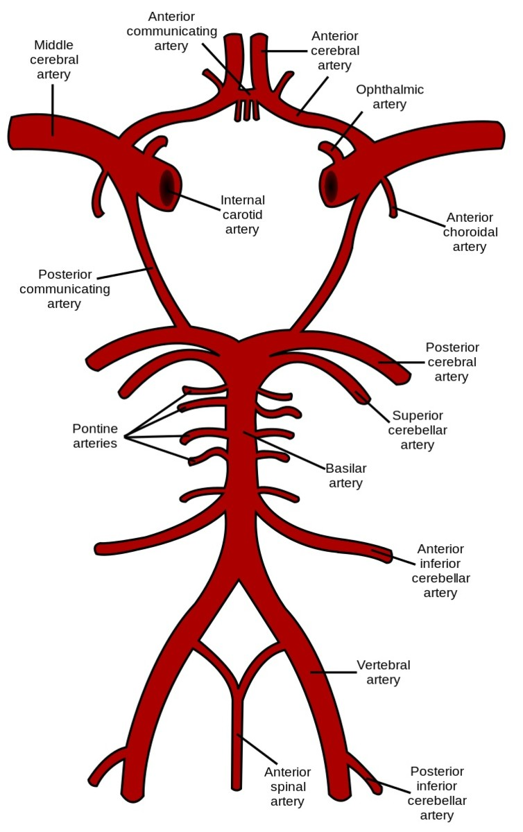The anterior cerebral arteries form part a structure known as the Circle of Willis on the undersurface of the brain. (The vessels at the top of the diagram are positioned closer to the front of the brain's undersurface.)