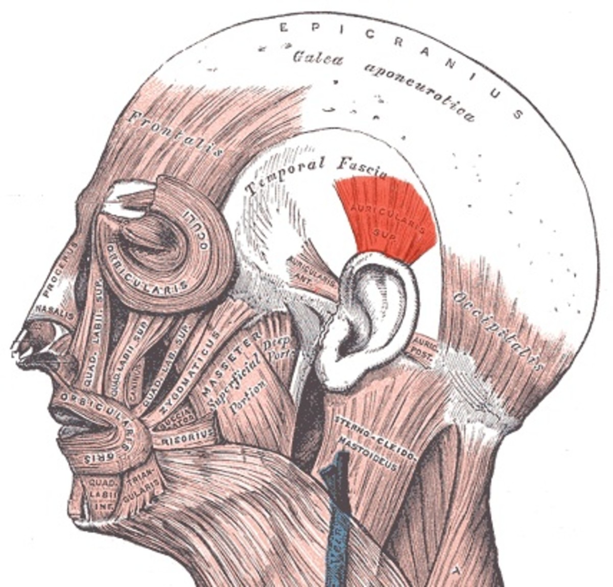 The superior auricular muscle is coloured red in this diagram. The anterior auricular muscle is in front of the ear flap, or auricle, and the posterior auricular muscle is behind it.