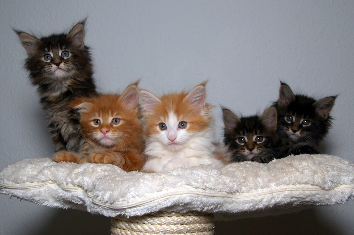 Don't be fooled by these cute kittens.  They can produce 15.5% louder meows together than they could by themselves