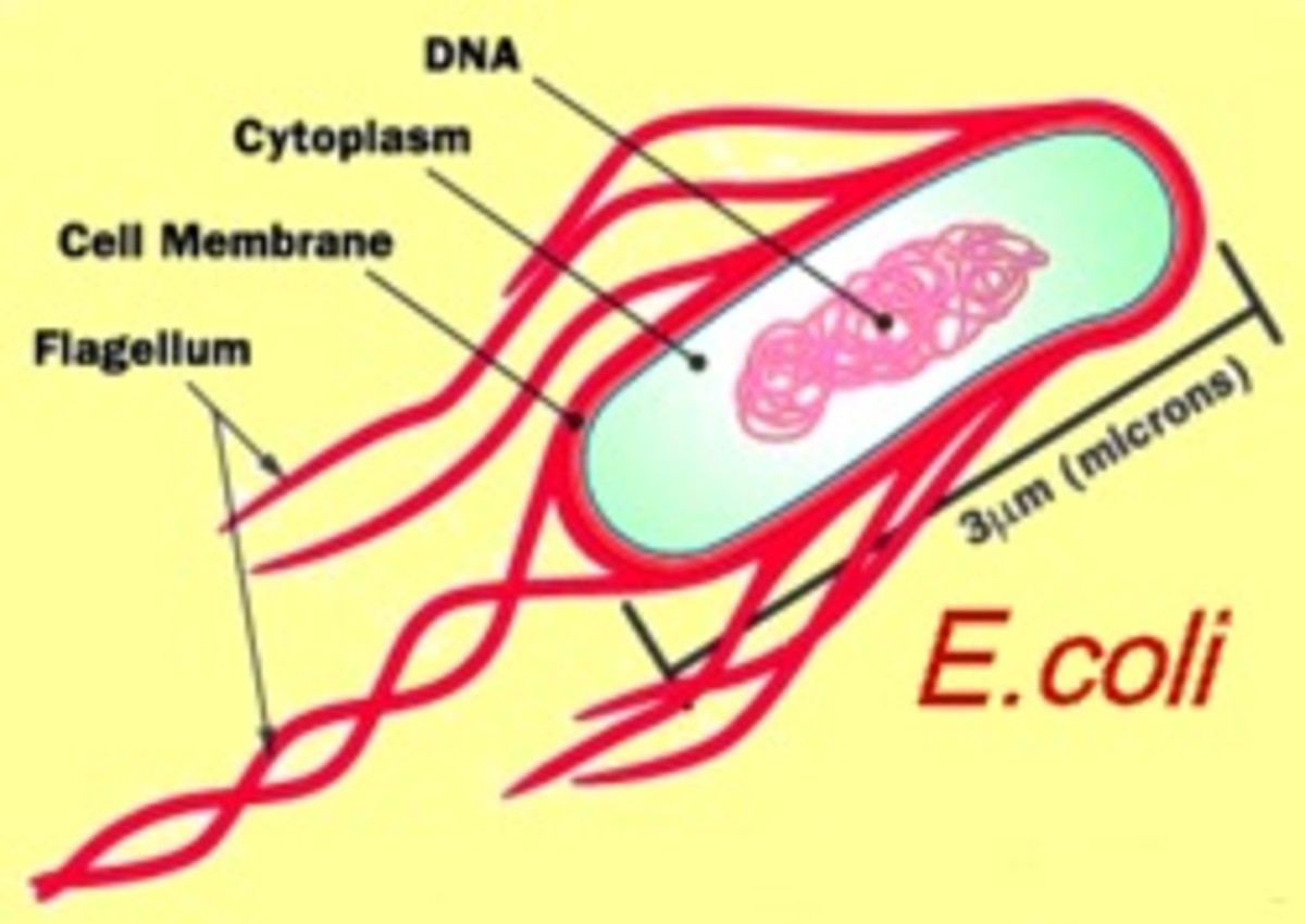 Fig. 8.  The structure of a single cell E. coli bacterium