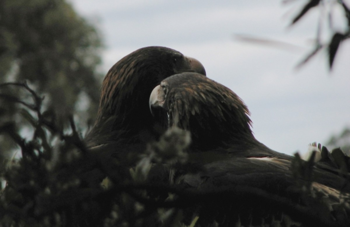 The mating pair of Tasmanian wedgetail eagles in their nest.