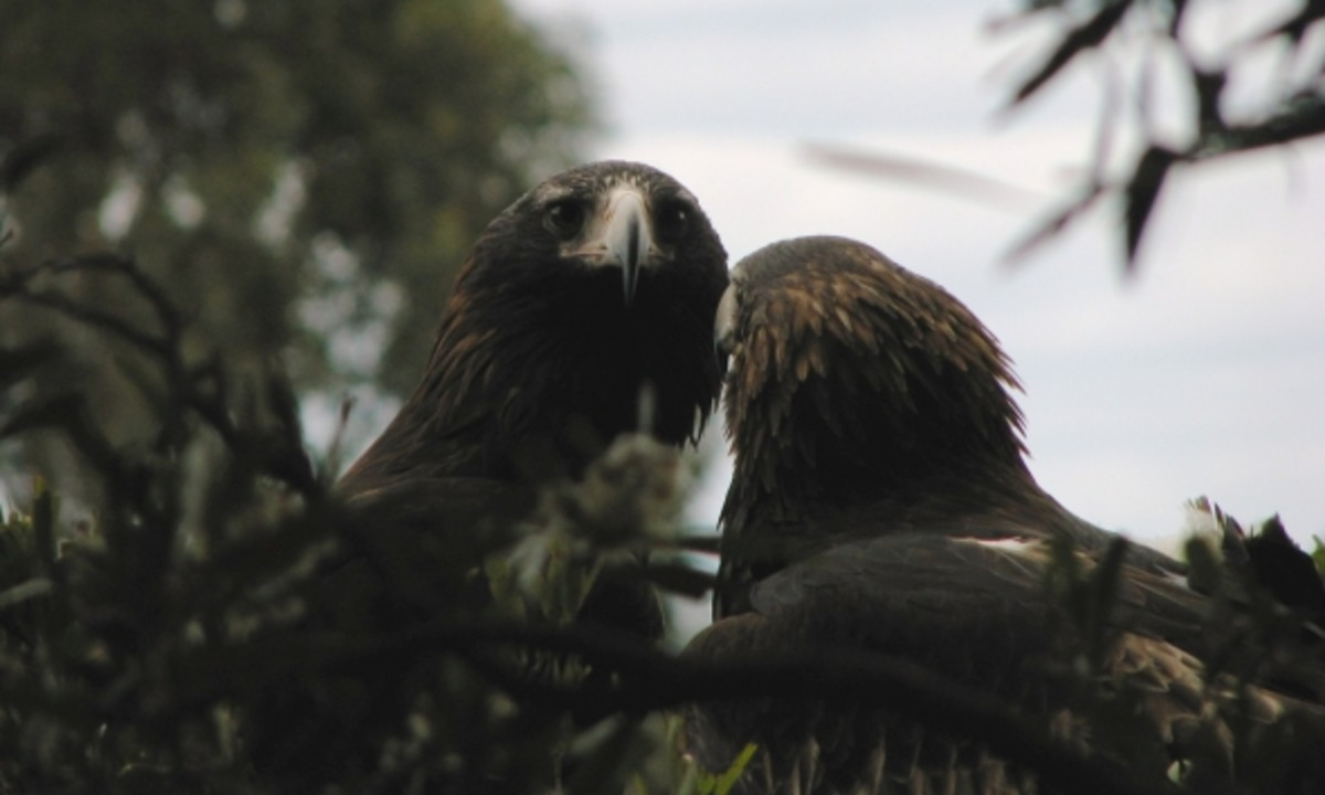 The pair of Tasmanian Wedgetails.