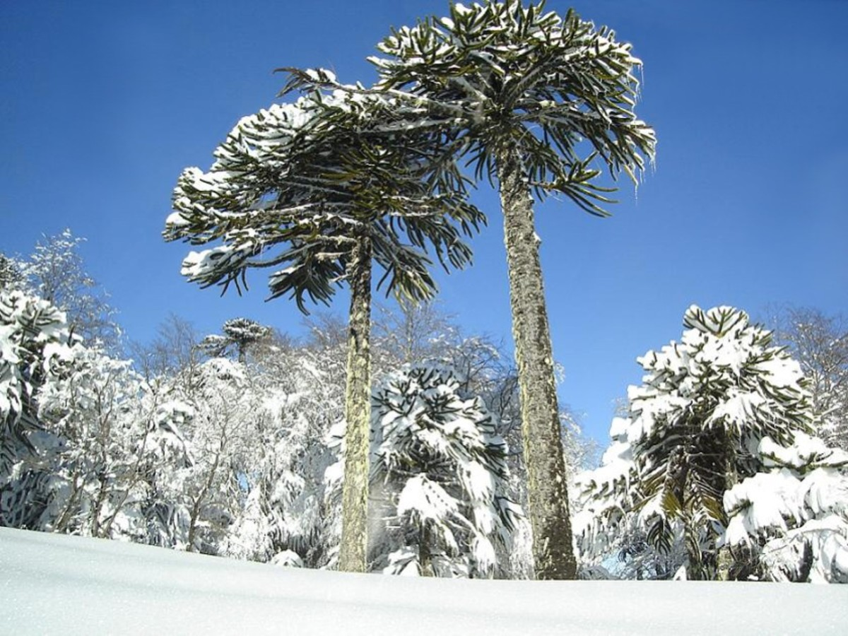 Older monkey puzzle trees in the snow in Chile