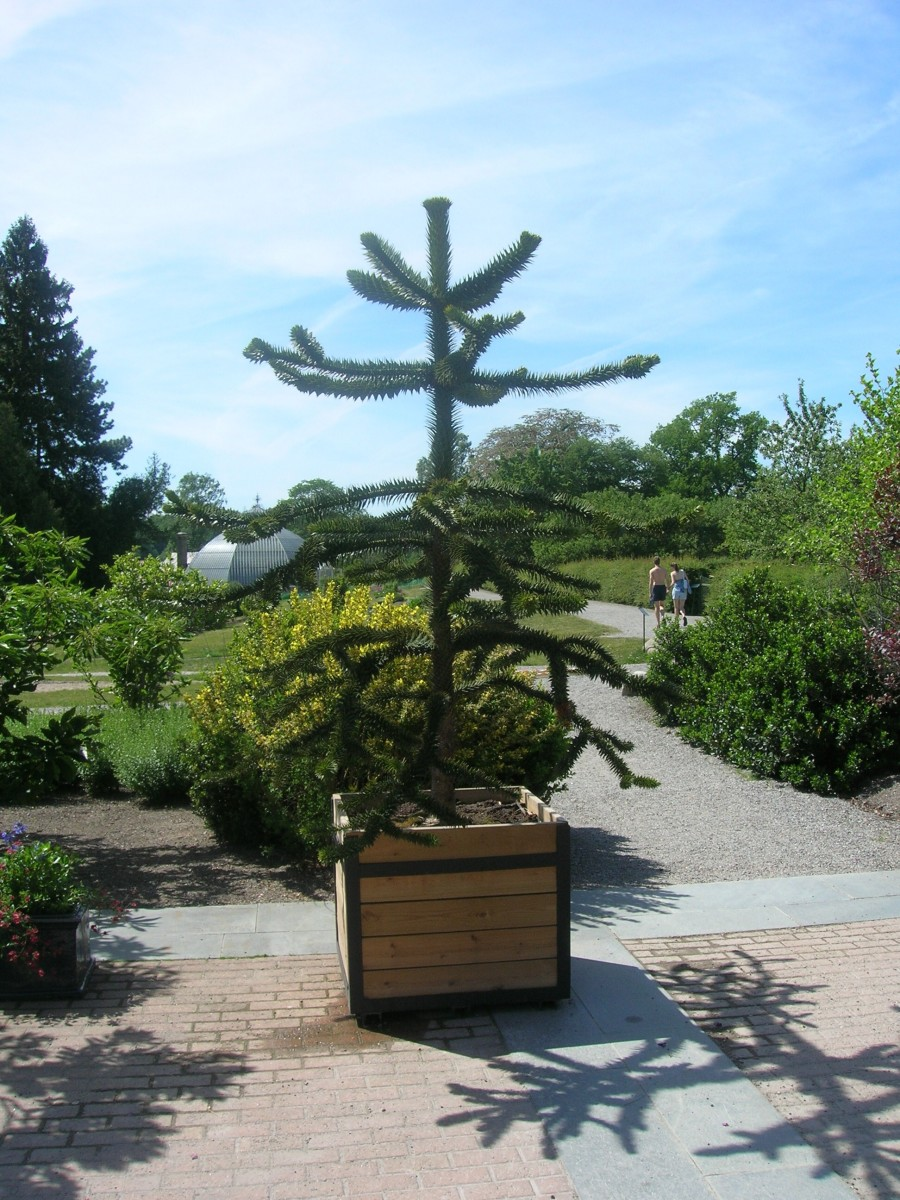 A very young monkey puzzle tree in a container, showing the branches arranged in whorls