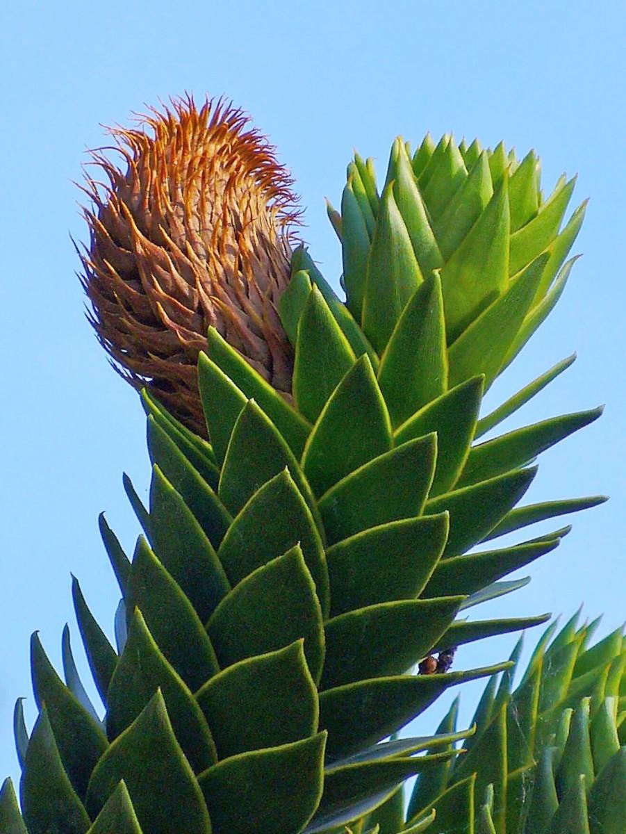 A male cone