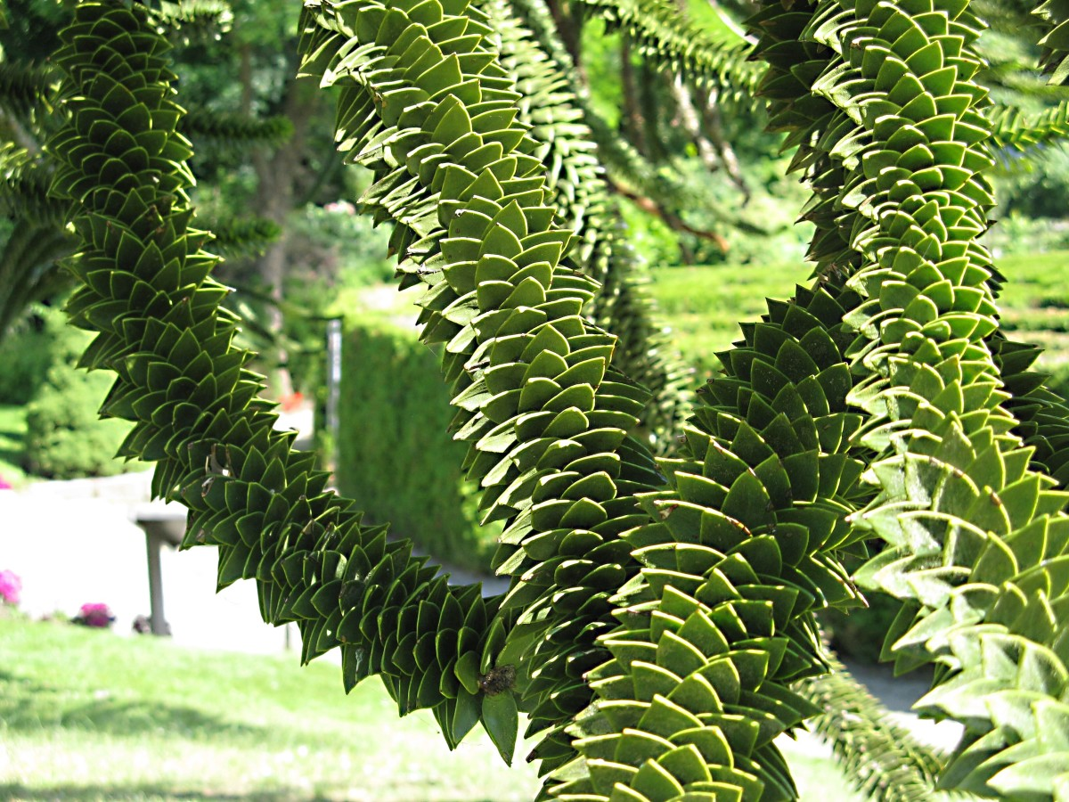 """The """"reptilian"""" leaves of a monkey puzzle tree"""