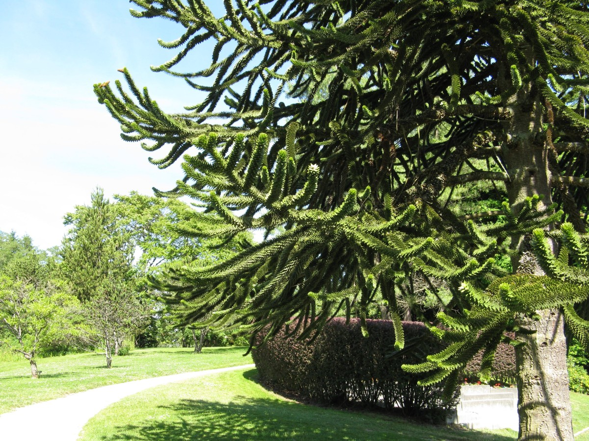 The branches of a monkey puzzle tree provide shade in a botanical garden.