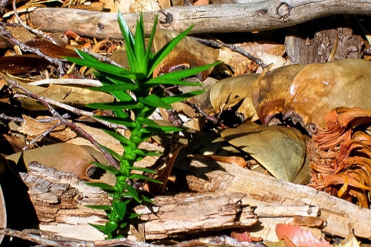 A monkey puzzle tree seedling