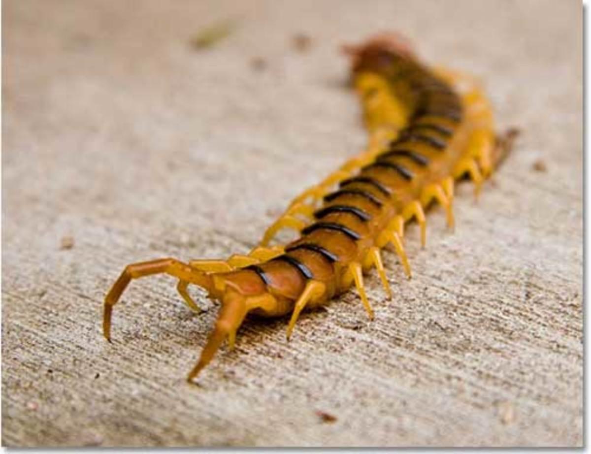 do-centipedes-bite