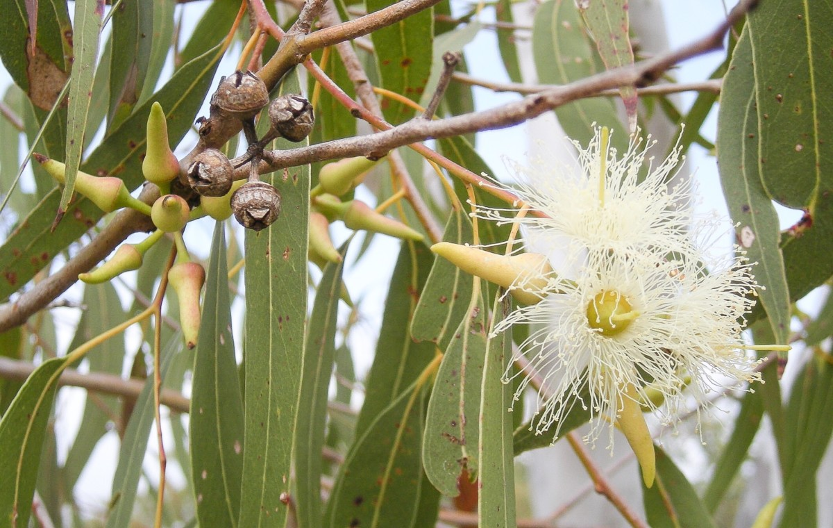 Eucalyptus tereticornis with leaves, flower buds, capsules, flowers, and fruits