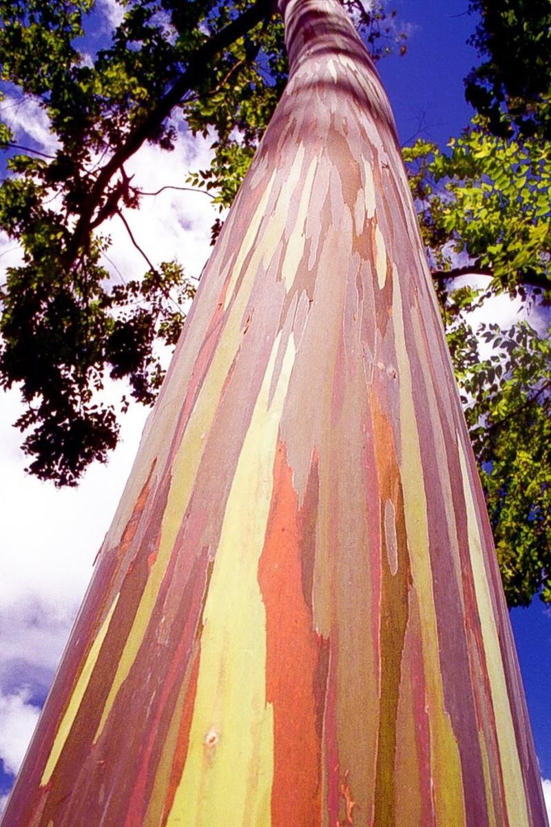 The trunk of a rainbow eucalyptus