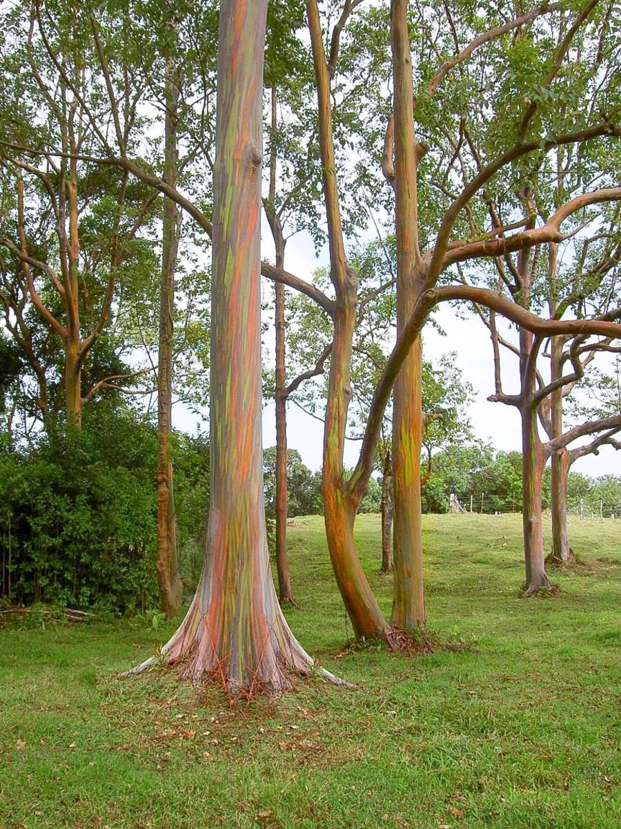 A grove of rainbow eucalyptus trees is beautiful to observe.