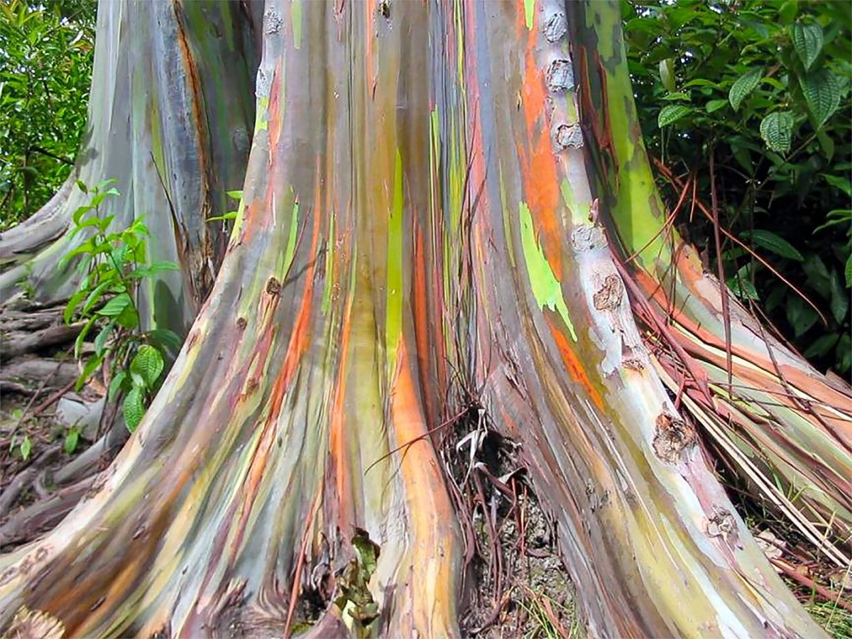 Rainbow eucalyptus trees different in the amount and types of colour that they display, but they are all beautiful.