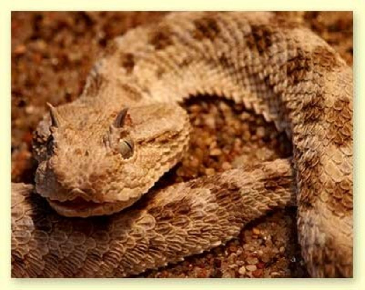 A venomous snake native to the deserts of Northern Africa.
