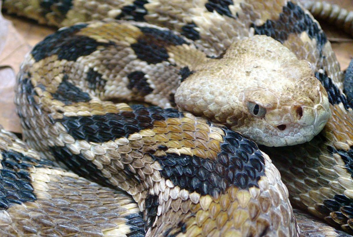This venomous snake is native to the temperate forests of North America.