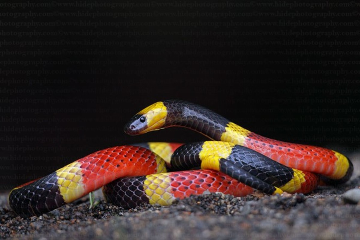 A venomous snake that doesn't even sport fangs - watch for the characteristic color pattern with red stripes touching yellow.