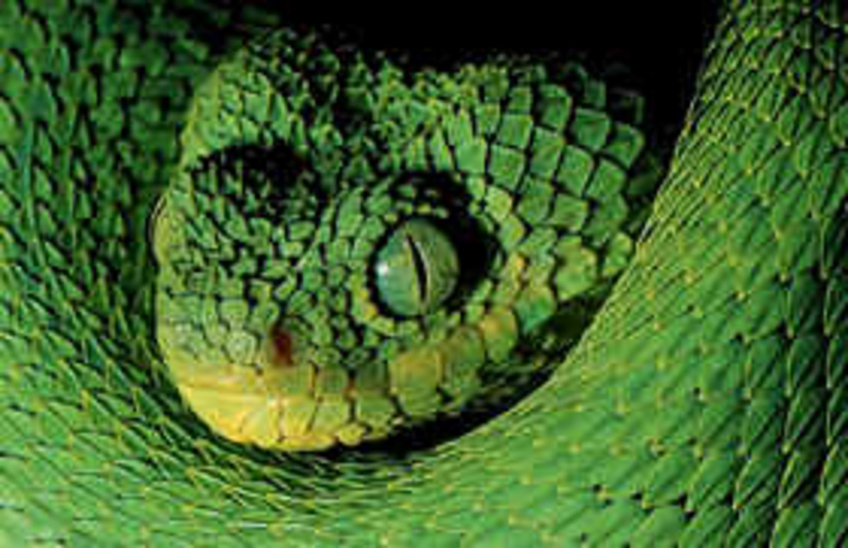 A venomous snake native to the forests of West Africa from Guinea to Gabon.