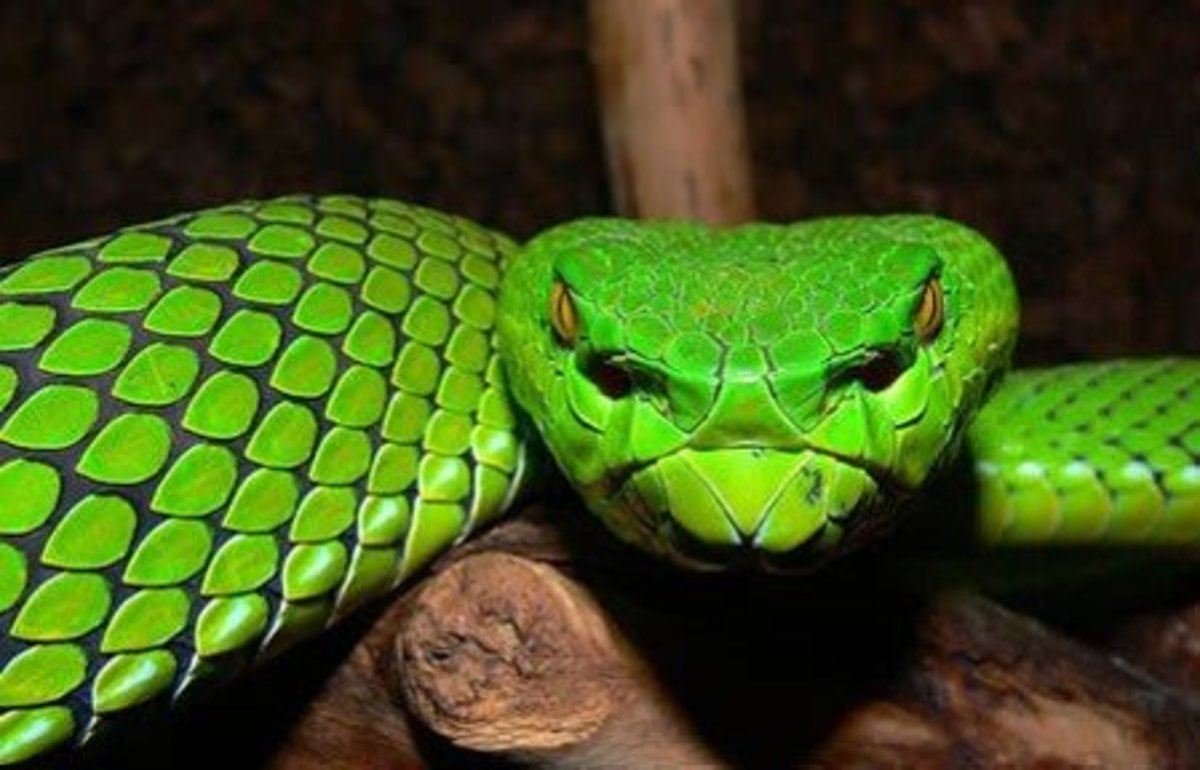 This venomous snake is native to Southeast Asia.