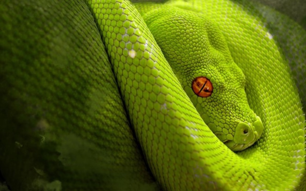 A non-venomous snake native to South America - this snake mimics many of the venomous characteristics discussed in this article.