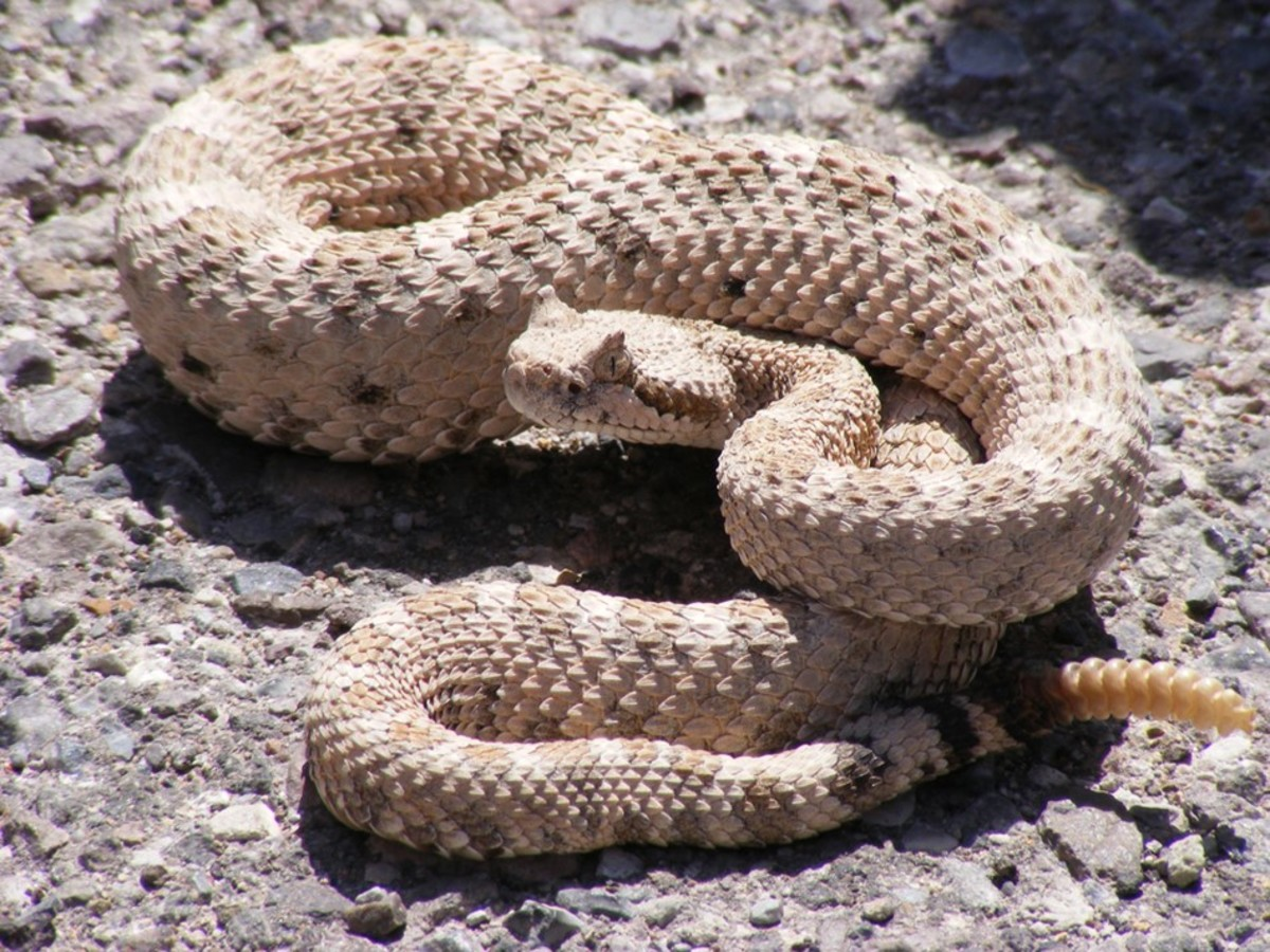 A venomous snake native to northern Mexico and the southern United States.
