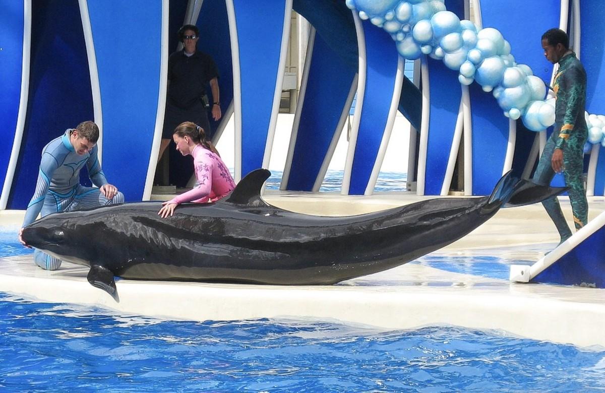 A false killer whale at SeaWorld Orlando; the theme park's last false killer whale died in 2012