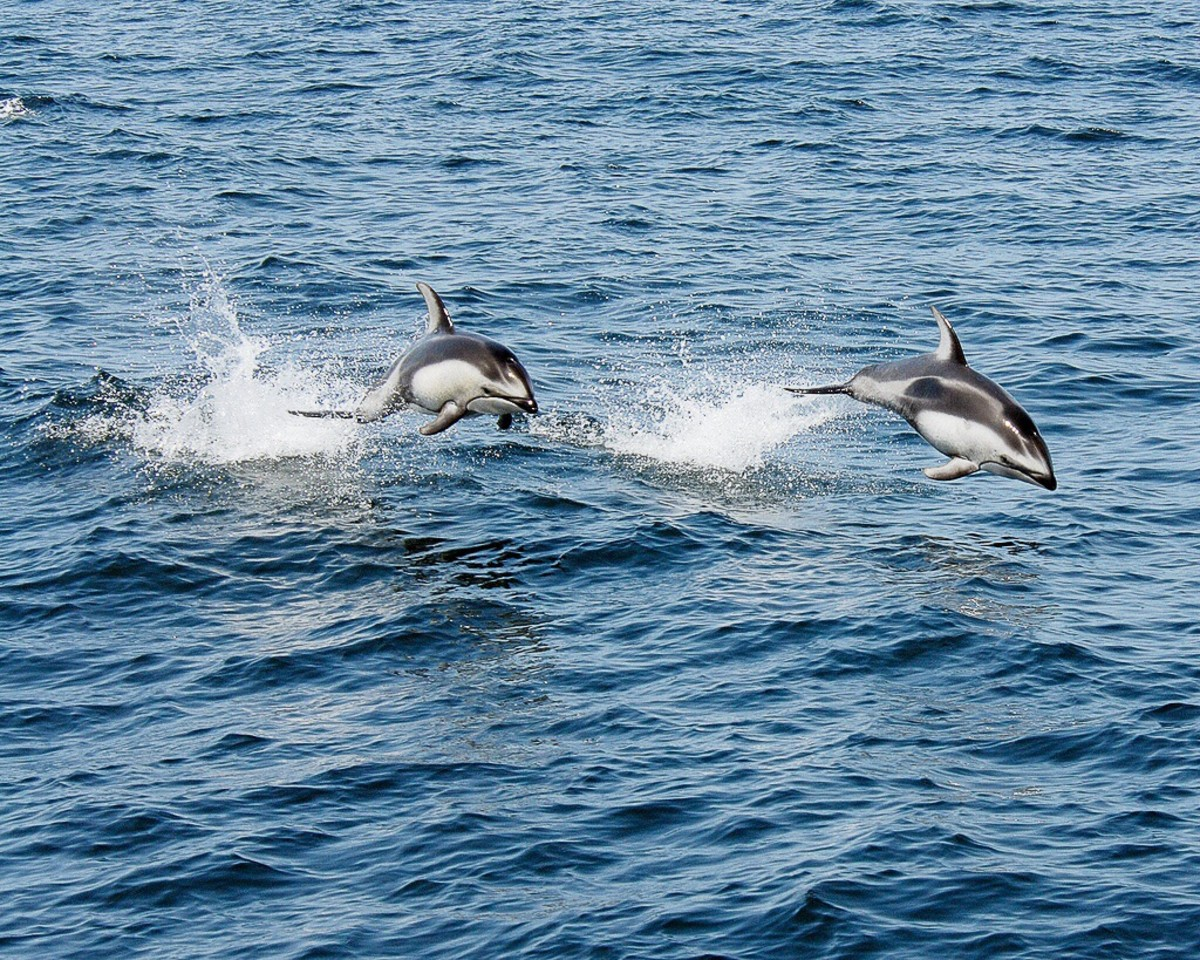 Pacific white-sided dolphins in the wild
