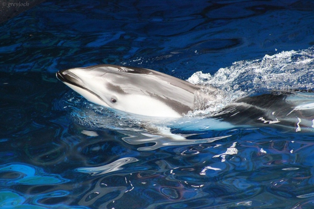 A Pacific white-sided dolphin at the Vancouver Aquarium with a very interested look in her eye