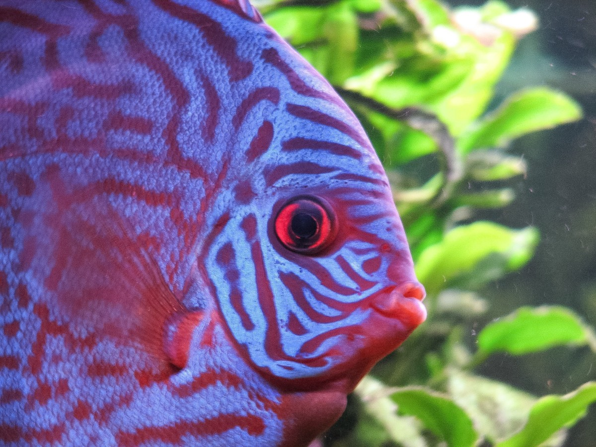 This is another variety of discus fish. The fish have a wide range of colours and patterns but all belong to the genus Symphysodon.