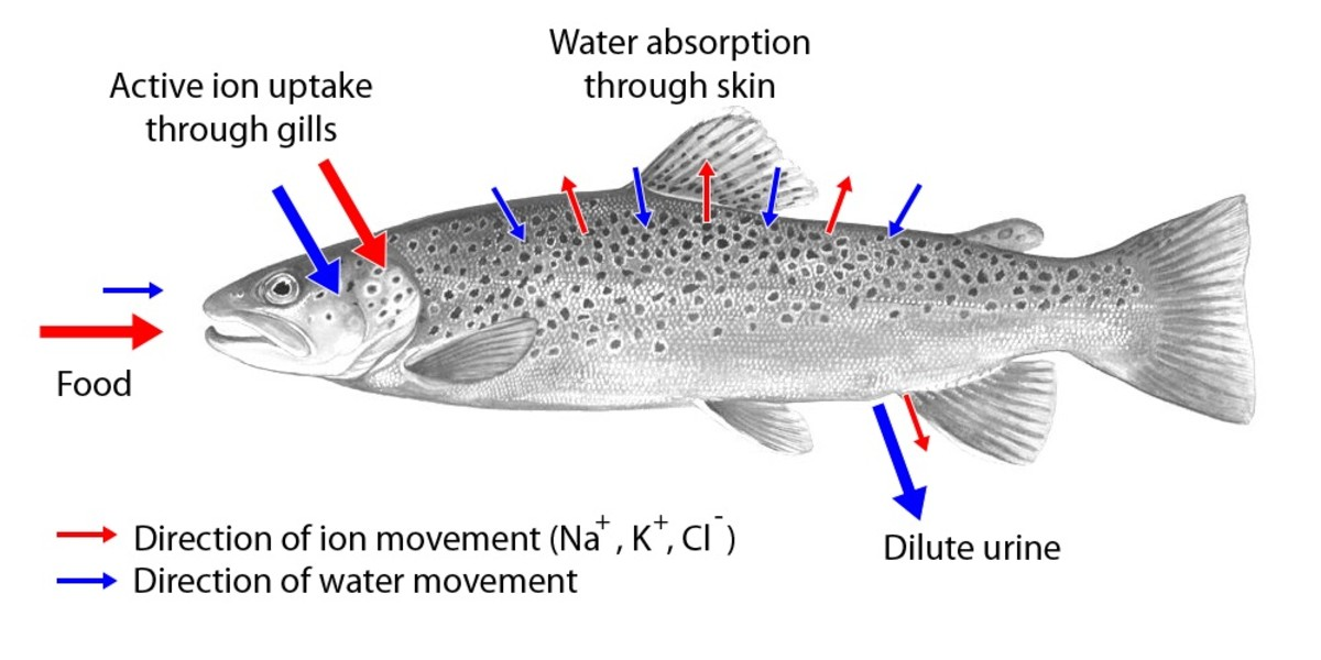 Movement of water and ions in a freshwater fish; once again, the arrows into and out of the skin are short due to the presence of scales and mucus