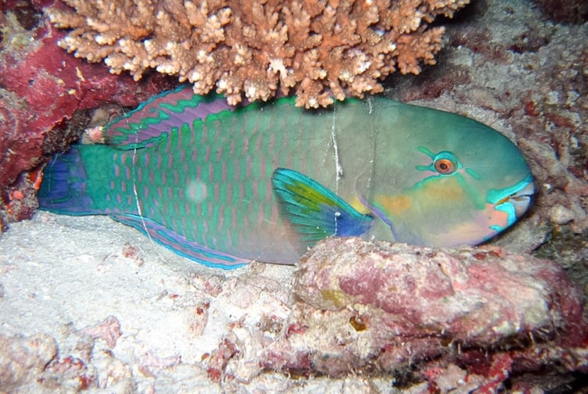 The daisy parrotfish (Chlorurus sordidus) covers itself with a mucus cocoon at night.