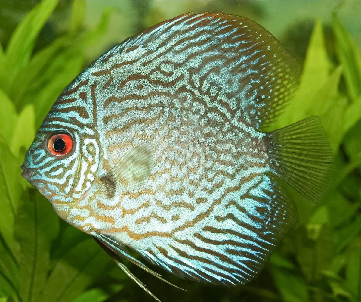 A blue discus fish, or Symphysodon aequifasciatus