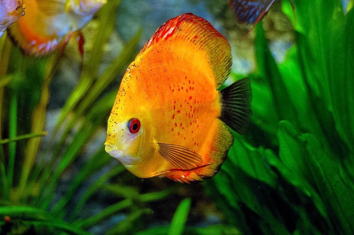 Another type of discus fish