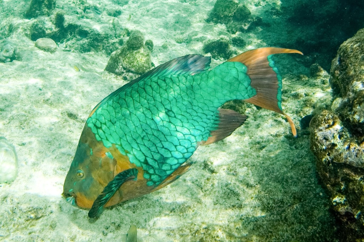 The male or terminal phase rainbow parrotfish (Scarus guacamaia) is found around coral reefs. Some sunscreen chemicals are believed to damage coral.