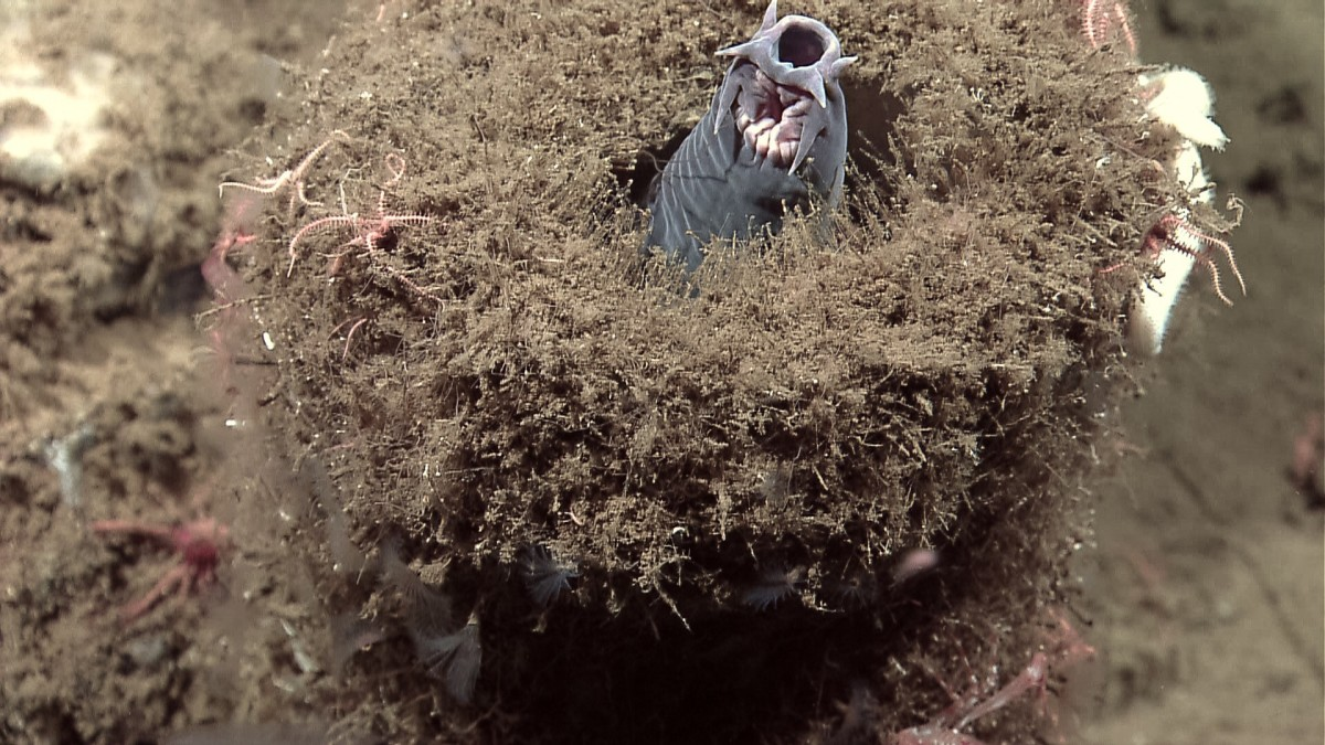A hagfish emerging from a sponge