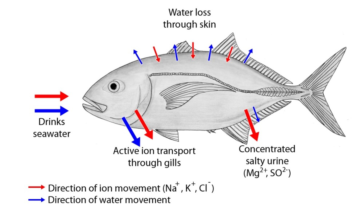 Movement of water and ions in a saltwater fish; the arrows into and out of the skin are short because the scales and mucus layer reduce the transport of materials