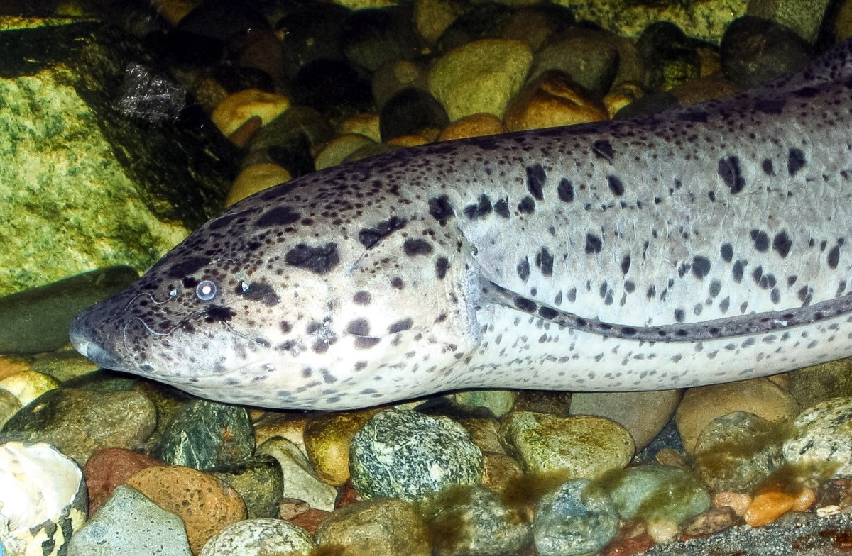 The marbled or leopard African lungfish