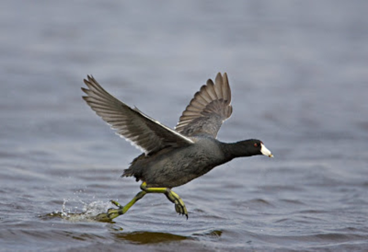 "American Coot ""running"" across the water, trying to take off in flight."