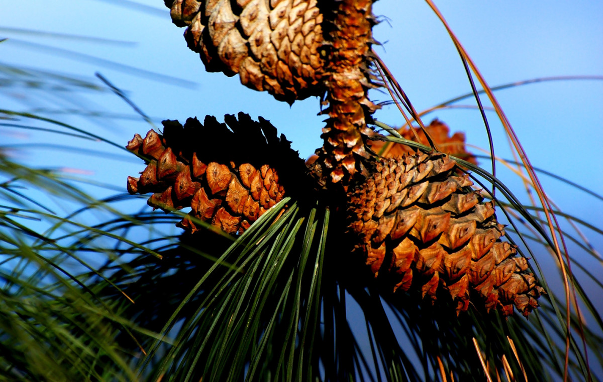 Cones of Pinus ponderosa commonly known as the Ponderosa Pine