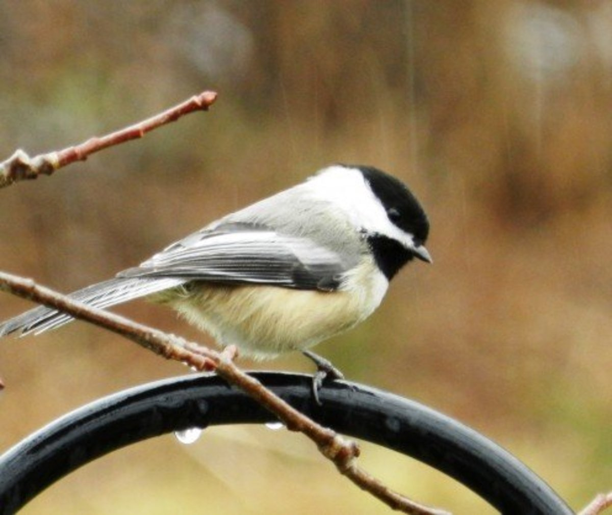 Rain or shine, the Chickadee is a tenacious little bird.