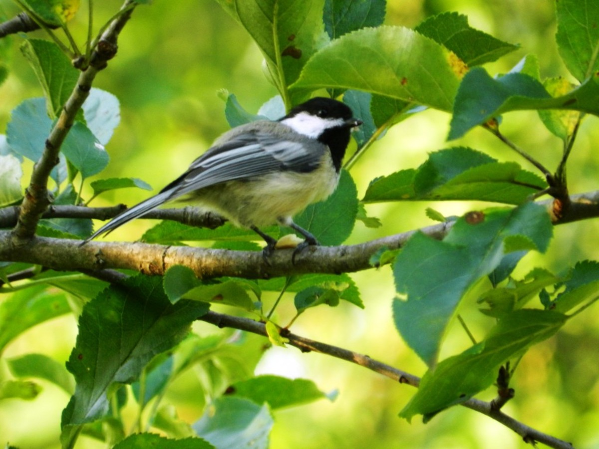 The little Black-capped Chickadee is a bold visitor to backyard bird habitats.