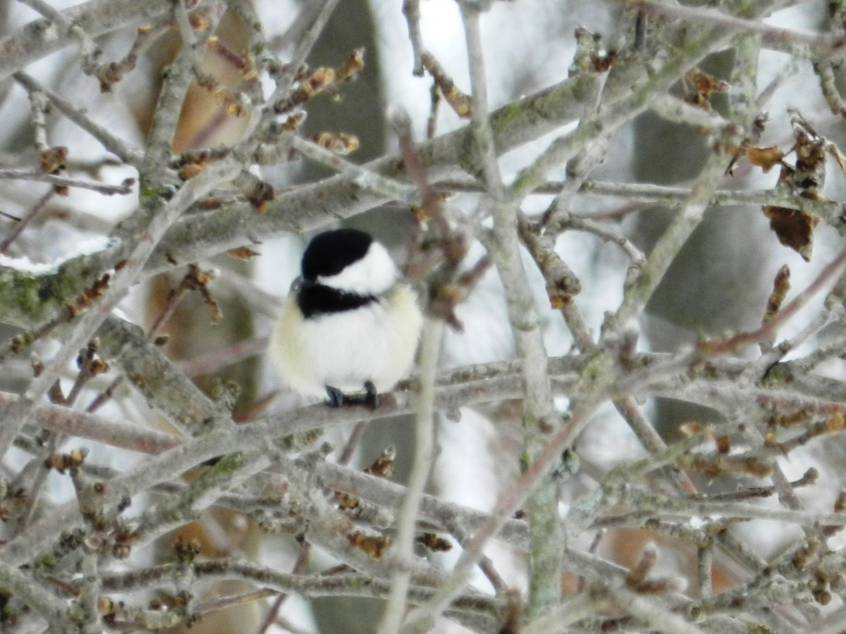 The Black-capped Chickadee will stick it out through the long, cold winter.