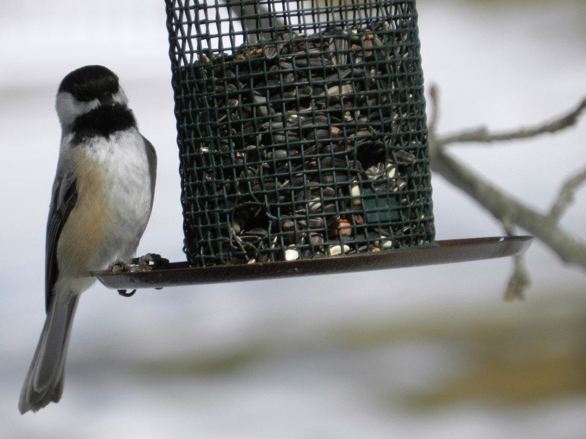 All you need is a simple feeder with sunflower seeds to attract the Black-capped Chickadee.