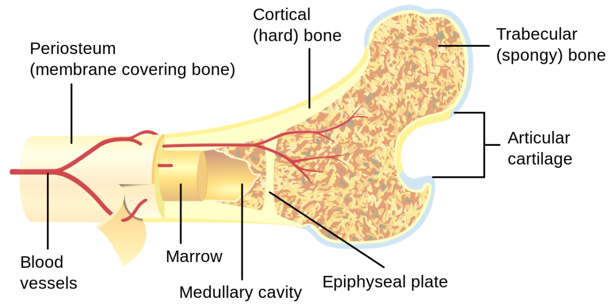 Bone marrow contains hematopoietic cells.