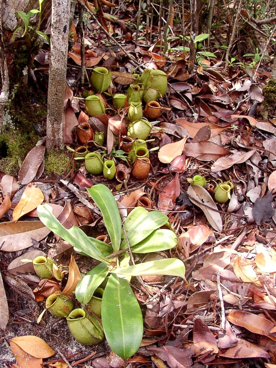 The ground pitchers at the top of the photo are joined to the main part of the plant (shown at the bottom of the photo) by underground rhizomes.