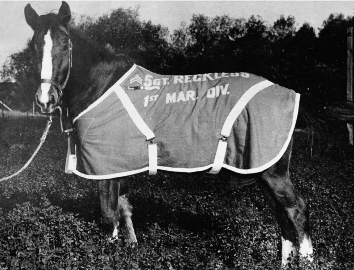 Sergeant Reckless in her red and gold horse blanket at Camp Pendleton, California (c. 1955)