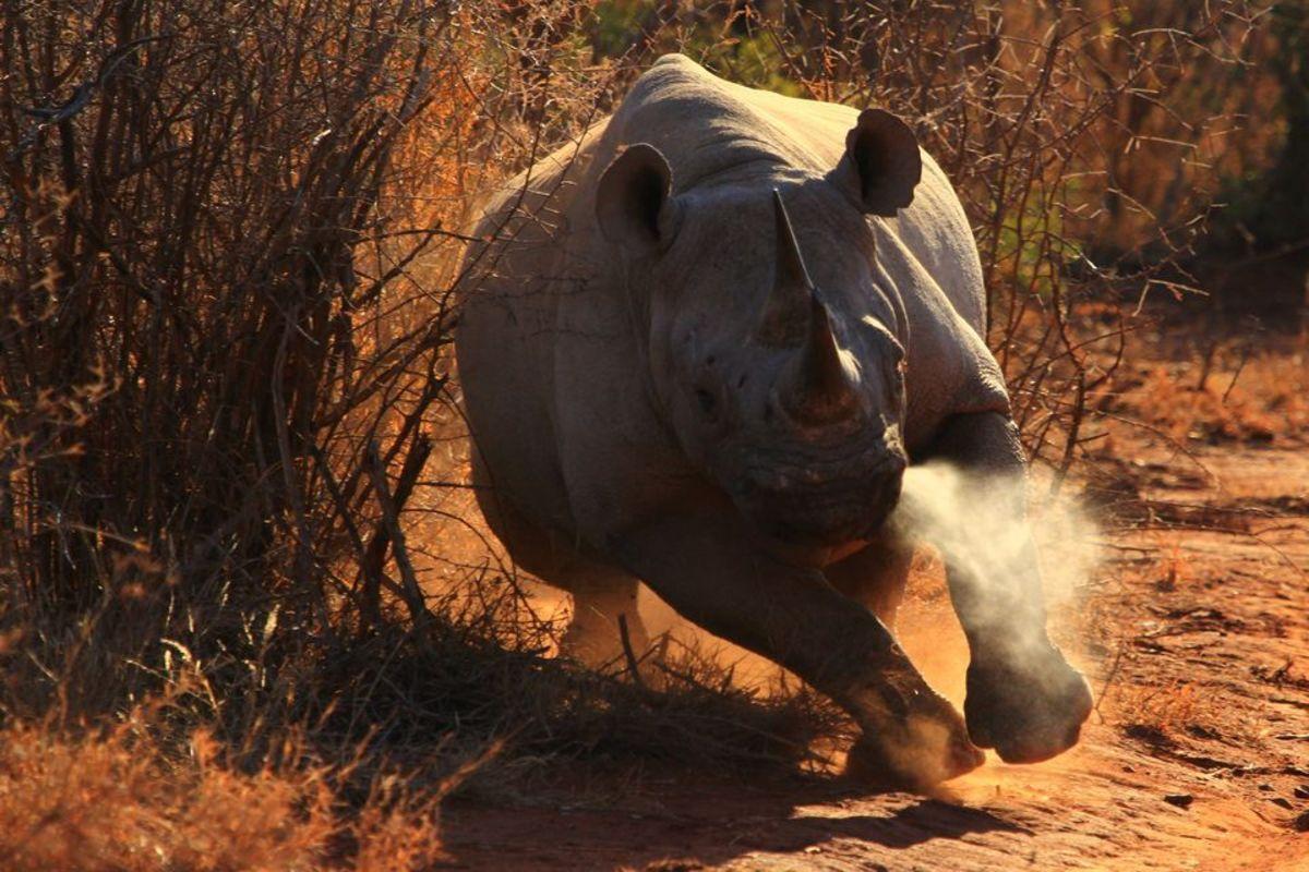 Rhinoceros...