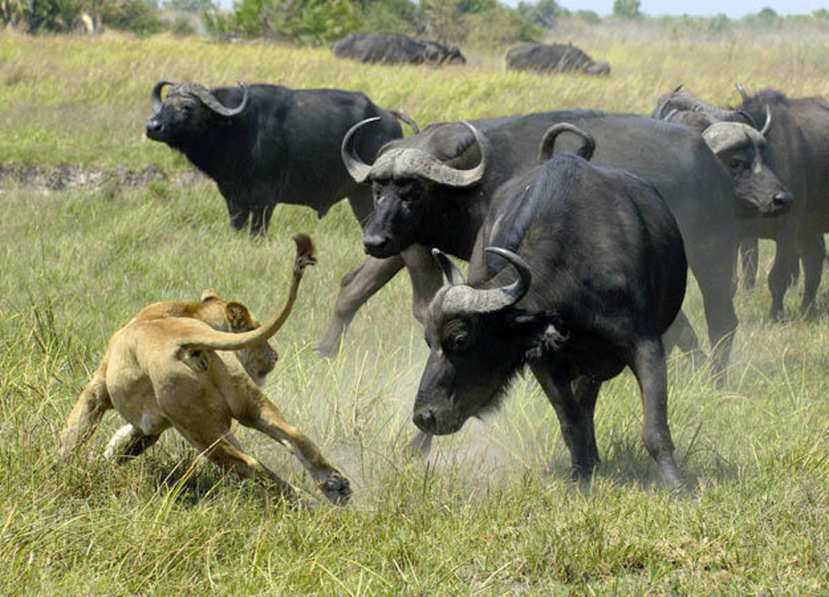 Cape Buffaloes...