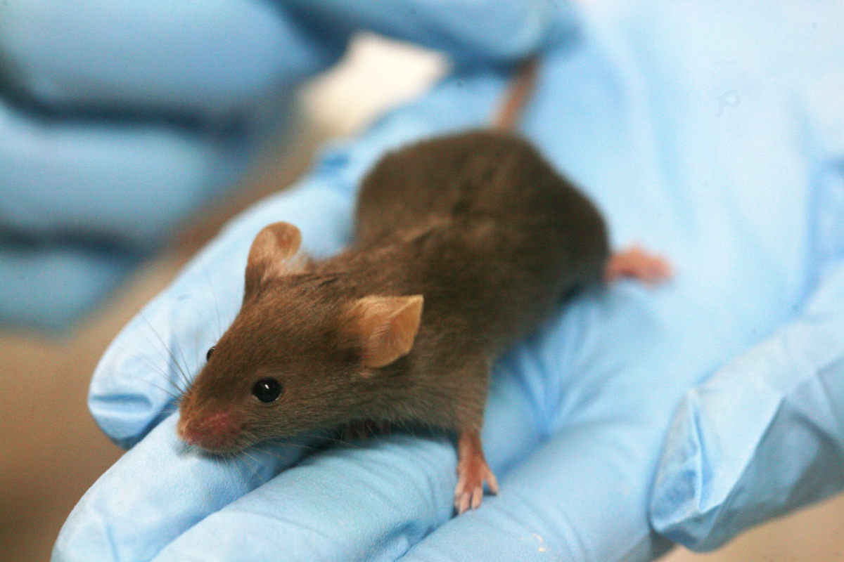 Elevated NAD+ has an amazing effect on old lab mice.